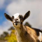 goats-19